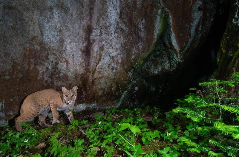 bobcat size crop-9131.jpg