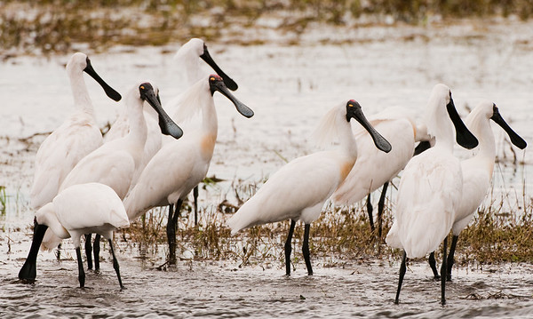 Spoonbills and Ibis