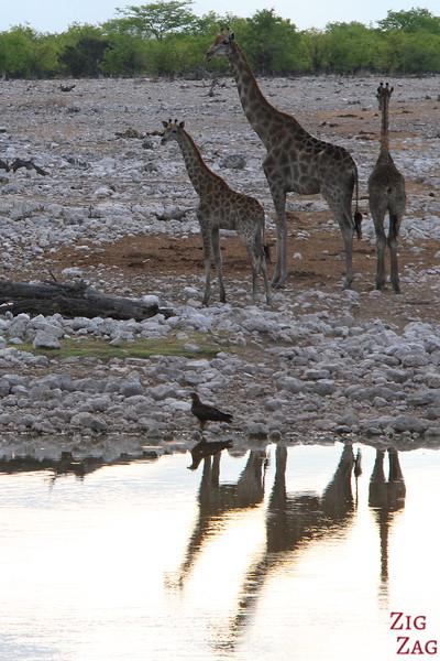 Giraffes near waterhole Etosha 2