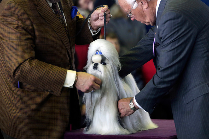 . A Shih Tzu is inspected by a judge during competition of the 137th Westminster Kennel Club dog show, Monday, Feb. 11, 2013, in New York. (AP Photo/Mary Altaffer)