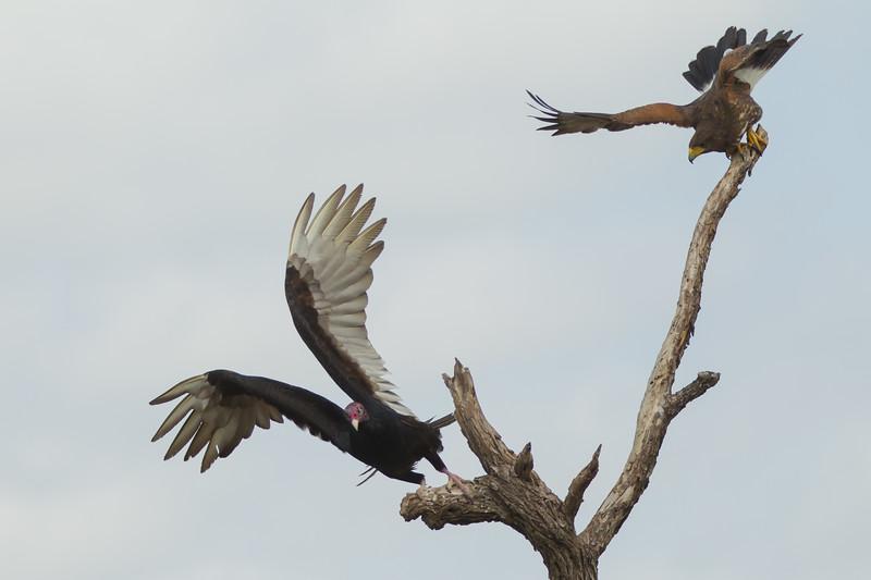 Turkey Vulture & Harris' Hawk interaction - Martin Refuge, Mission, TX, USA