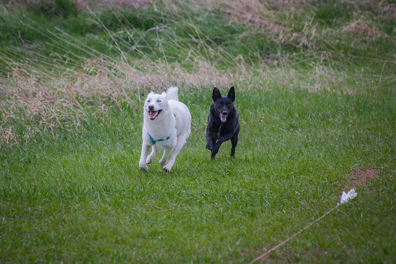 Dog Lure Chasing