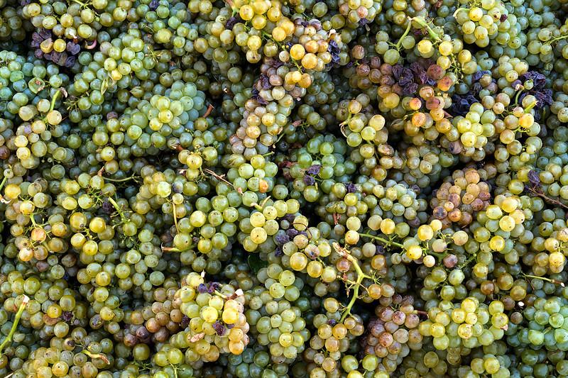 Sauvignon Blanc Grapes - 2048px-20.jpg