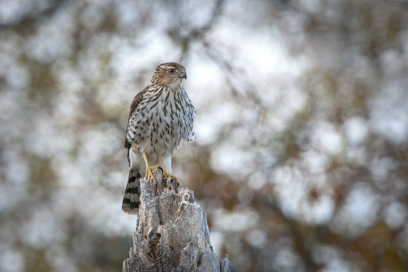 Coopers Hawk - Juvenile
