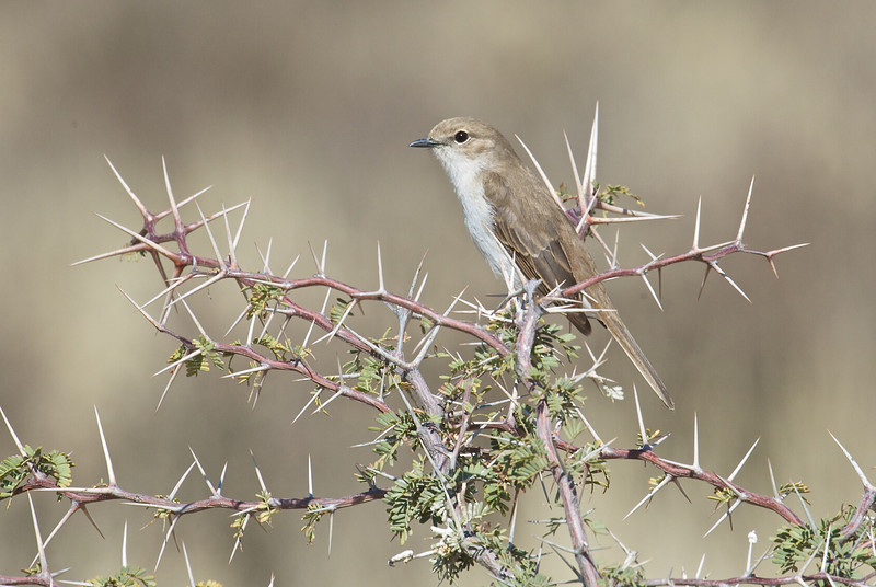 Pallid flycatcher, Kgaligadi Transfrontier Park, South Africa