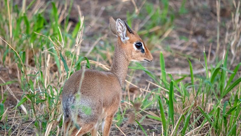 Tanzania-Tarangire-National-Park-Safari-Dikdik-03.jpg