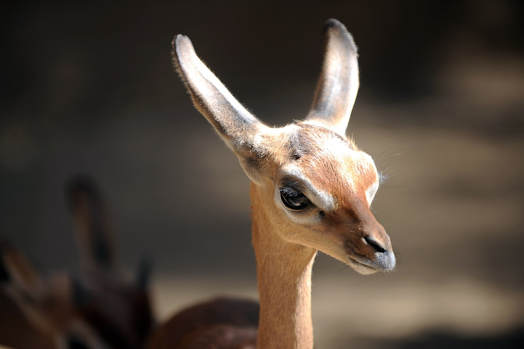 . A baby gerenuk looks on at the Los Angeles Zoo Thursday, April 18. 2013.  The zoo has welcomed several babies in 2013.(Andy Holzman/Daily News Staff Photographer)(Andy Holzman/Staff Photographer)