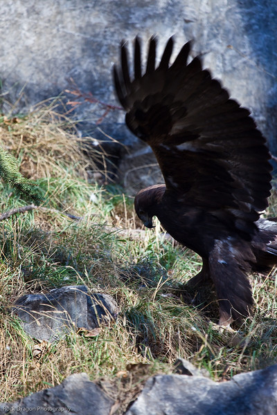 Golden Eagle, Calgary Zoo Nov. 1