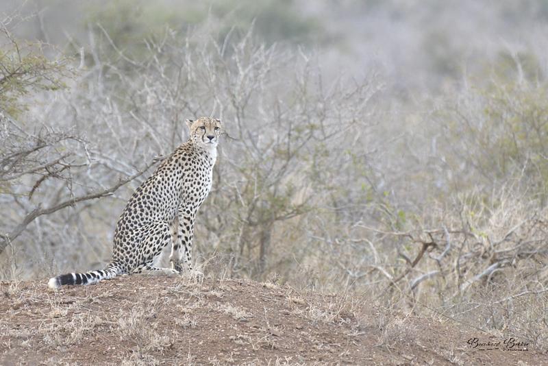 cheetah 6.png