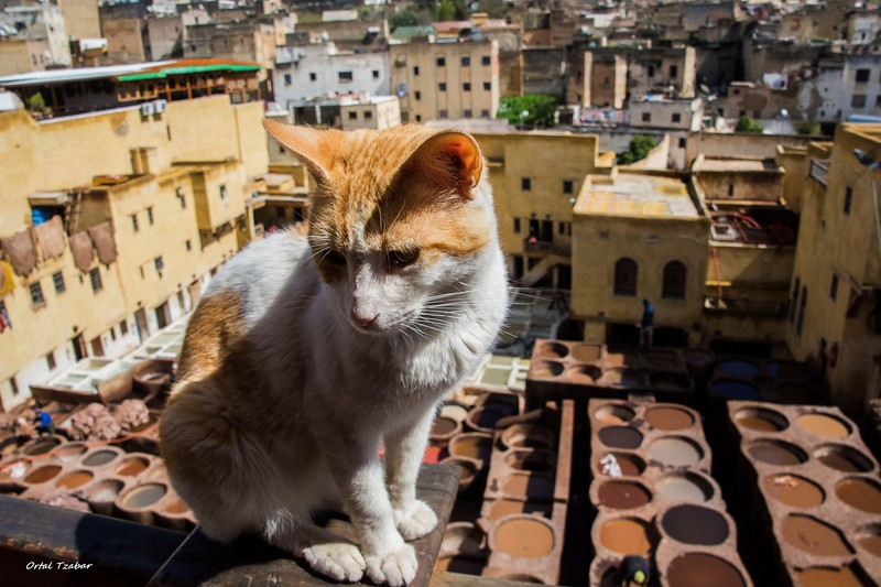 צביעת עורות עם החתול.jpg
