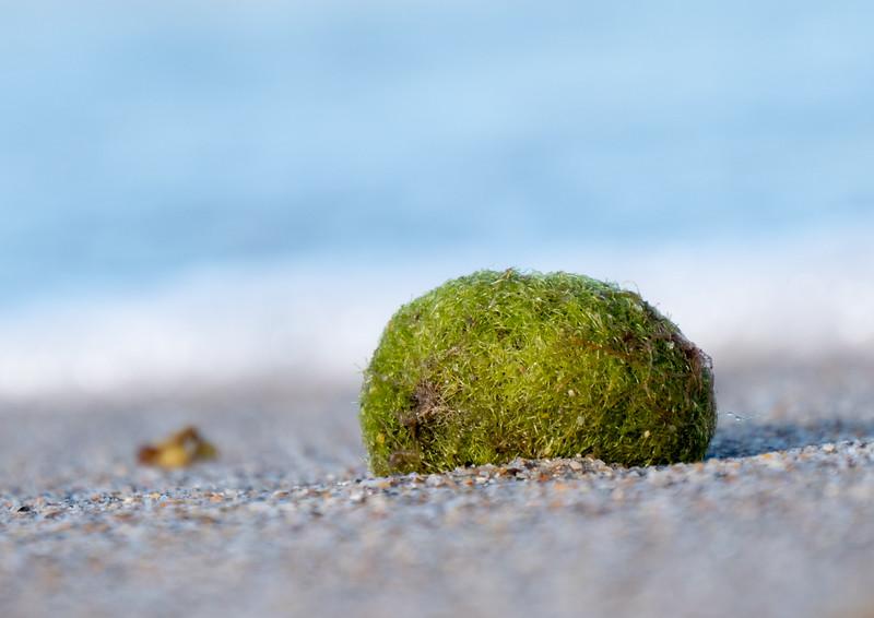 algae ball (aegagropilious)