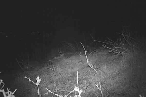 Raccoon 355.AVI