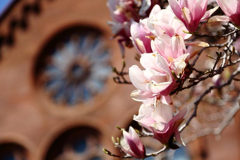 _C4A0915 Cherry Blossoms Etc .JPG