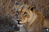 Lioness in Low Light