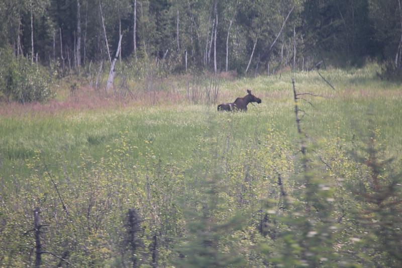 20160709-049 - Alaska Railroad-Moose.JPG