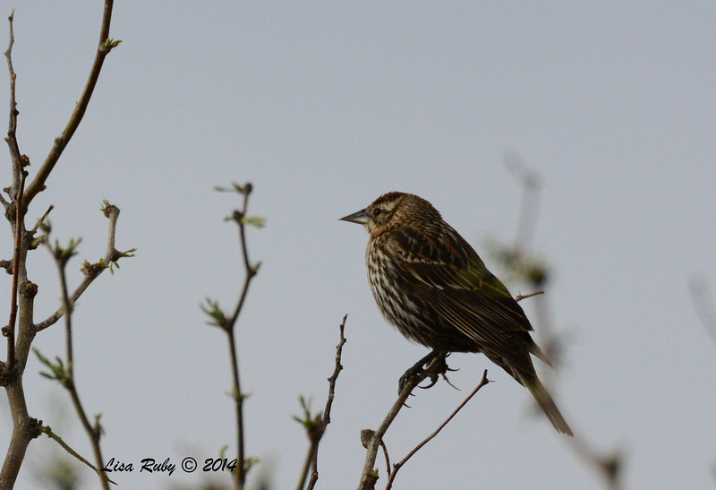 Female Red-winged Blackbird - 4/18/2014 - San Pedro Riparian Conservation Area, Sierra Vista, Az