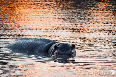 Sunset with Hippos