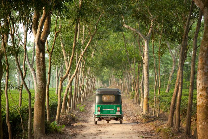 Tea plantation, Bangladesh