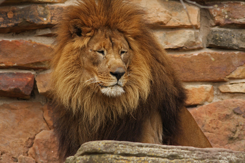 WB~Fort Worth Zoolion1280.jpg