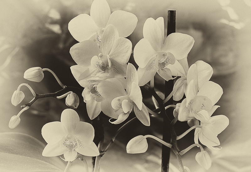 112.Martin Torres.1.Monochrome more Orchids.jpg