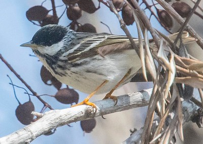 Blackpoll Warbler 5-8-18