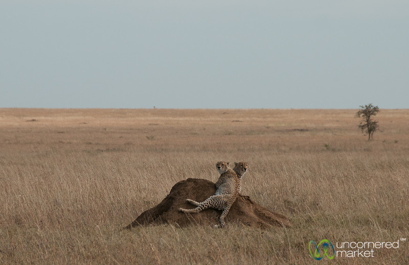 Cheetah Brothers - Serengeti, Tanzania