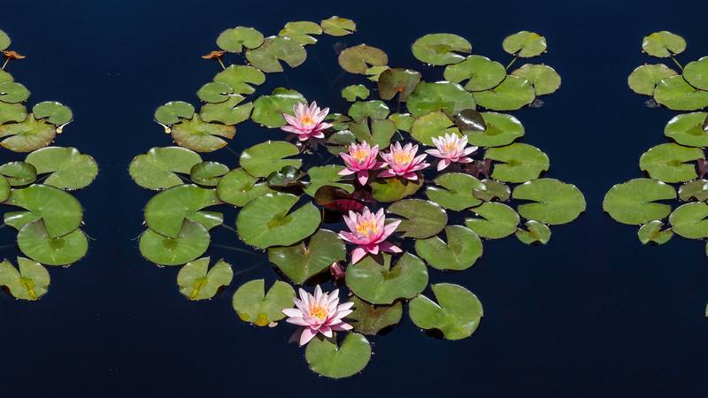 00040 6 Pink Water Lillies 16x9.jpg