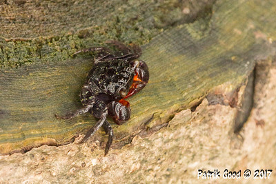 Yellow-spiked Mangrove Crab
