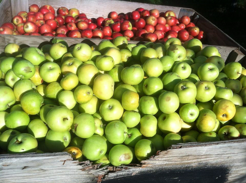 . Apples from the harvest at Snowdrift Cider in East Wenatchee, Washington. (Photo provided by Snowdrift Cider)