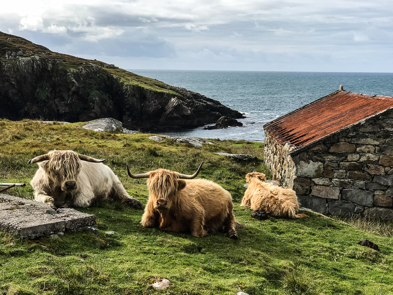 Highland Cows at Hushinish