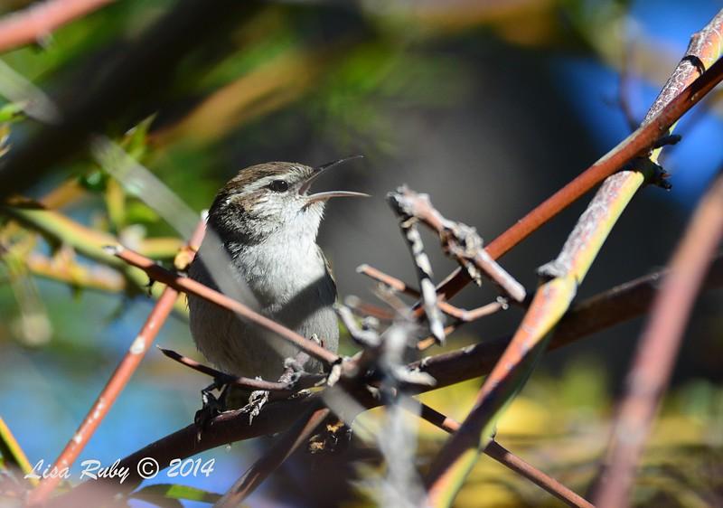 Bewick's Wren  - 12/14/2014 - Poway Pond