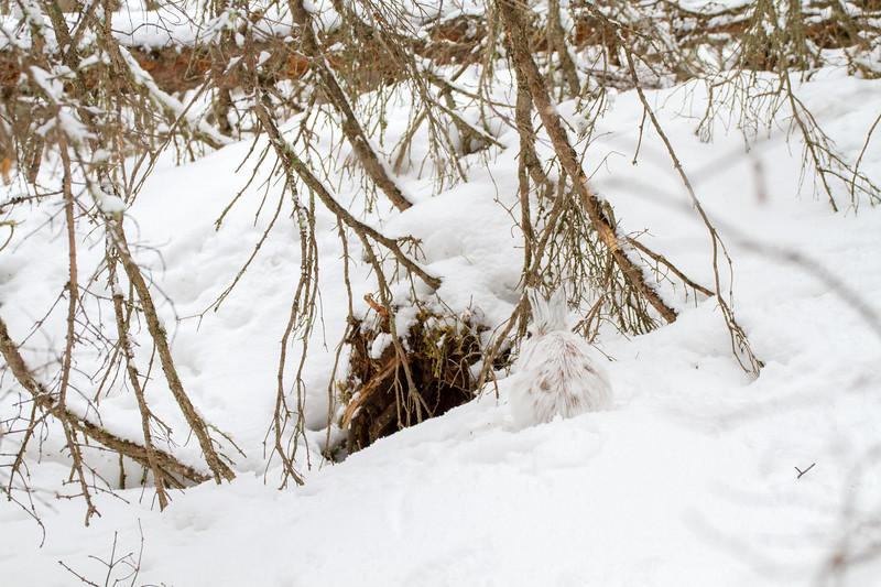 Snowshoe Hare Warren Nelson Memorial Bog Sax-Zim Bog MNIMG_0759.jpg