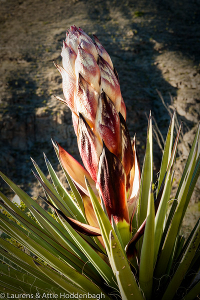 Blooming Agave in Oliver Lee Mem. SP