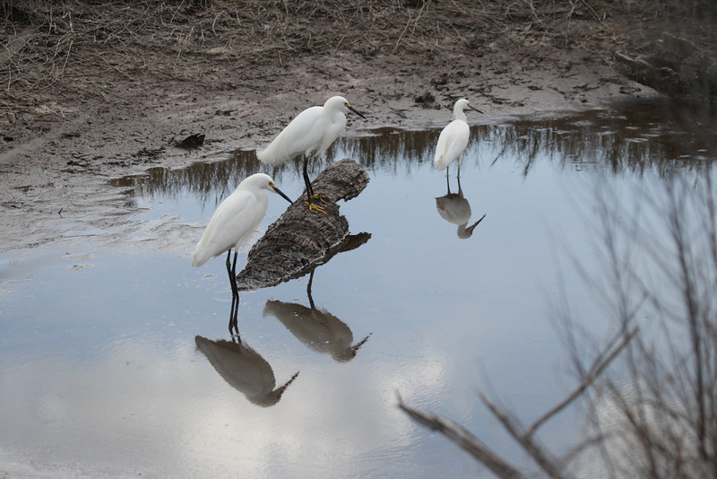 Quite a contrast to all the NASA technology inherent in a launch.  Snowy Egrets and an alligator in the wildlife refuge that surrounds the Kennedy Space Center.