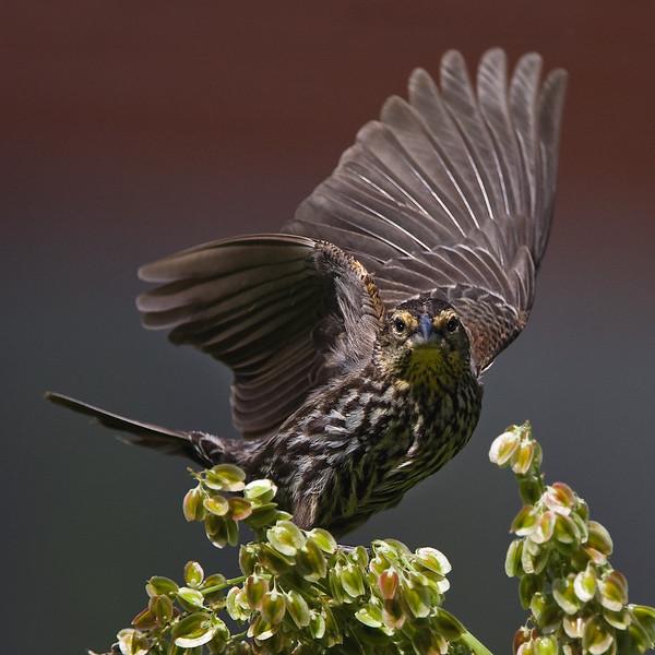blackBirdFemele.jpg