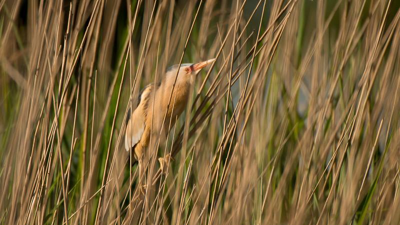 Little Bittern, Ixobrychus minutus. Zevenhuizerplas The Netherlands.