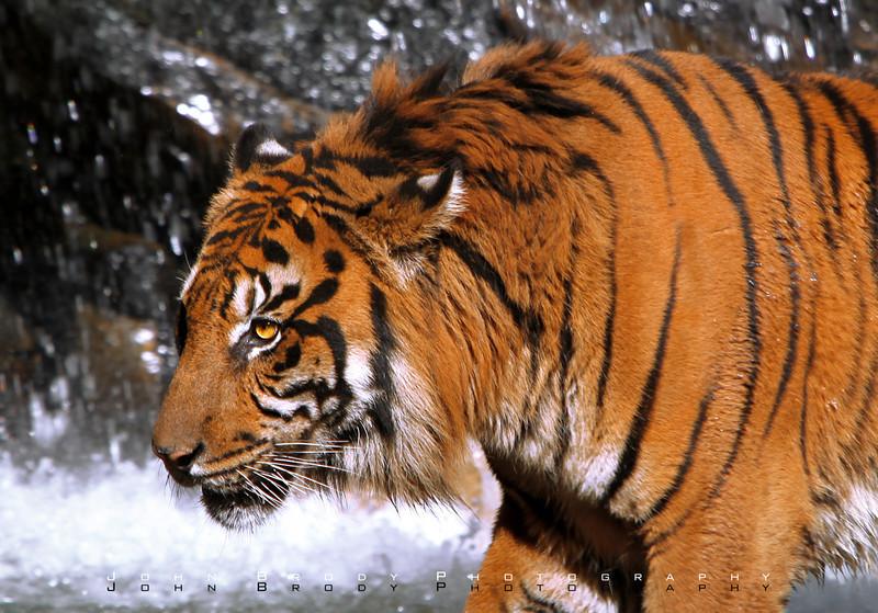 Sumatra Tiger Passing A Waterfall - JohnBrody.com