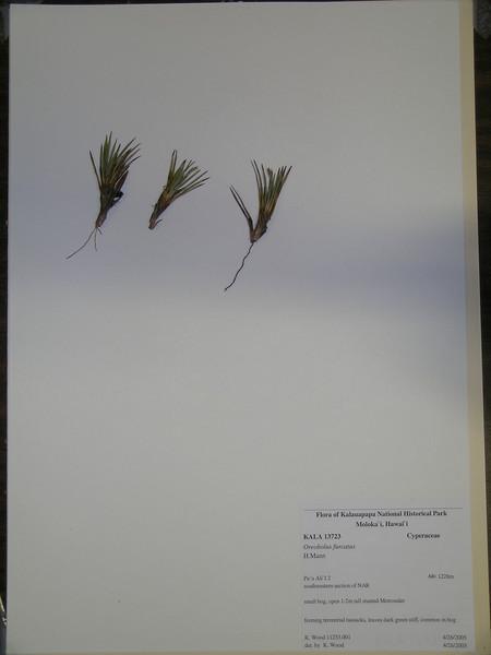 Oreobolus furcatus herbarium specimen (KALA13723) from Kalaupapa National Historical Park (photoID:oreobolus_furcatus_kala_13723)