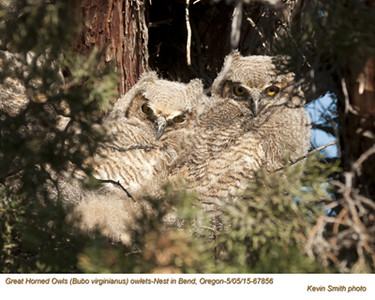 Great Horned Owls N67856 .jpg