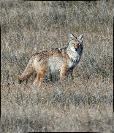 Reworked Coyote Photos