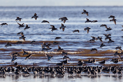 Birds of Sea and Coast UK
