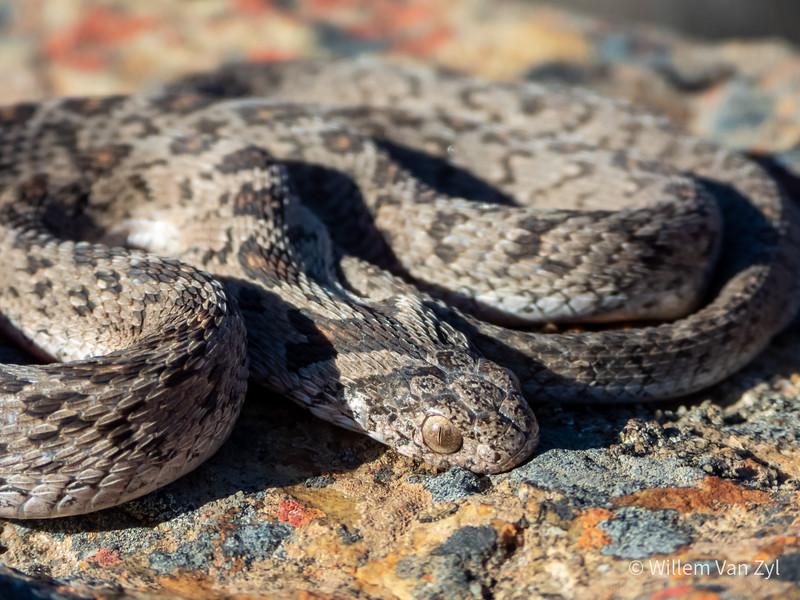 20201114 Rhombic Egg-Eater (Dasypeltis scabra) from Vredendal, Western Cape