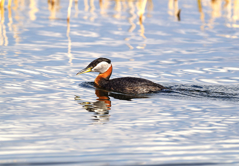 Red-necked-Grebe_lowres.jpg