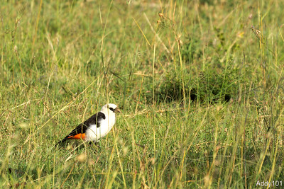 Kenia 2016: Birds