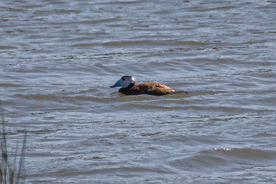 White-headed Duck - Hvidhovedet And