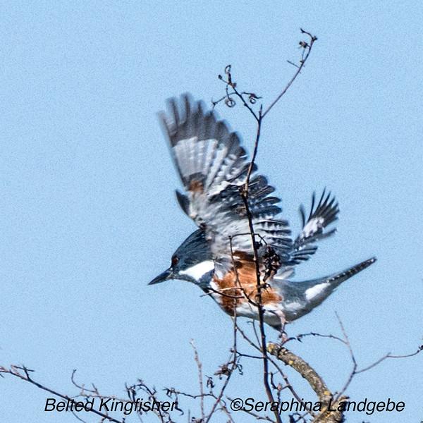 _DSC5930Kingfisher flightb.jpg