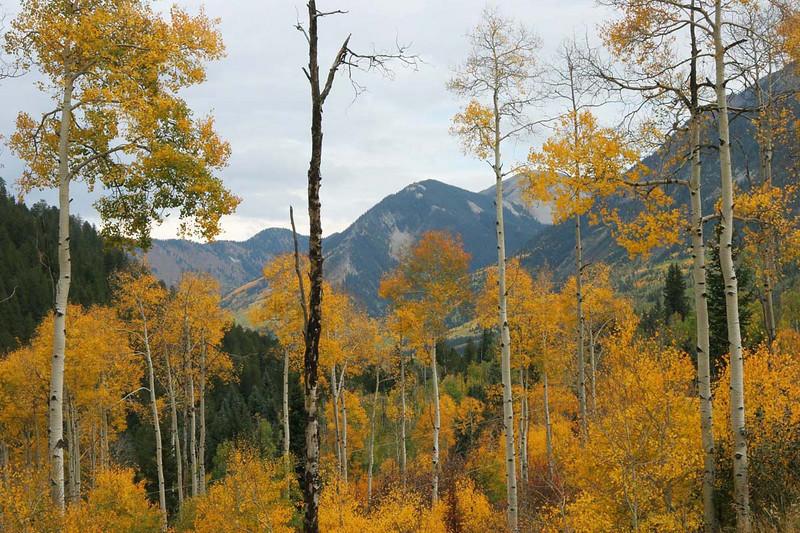 Aspens with mountain backdrop, McClure Pass, Colorado