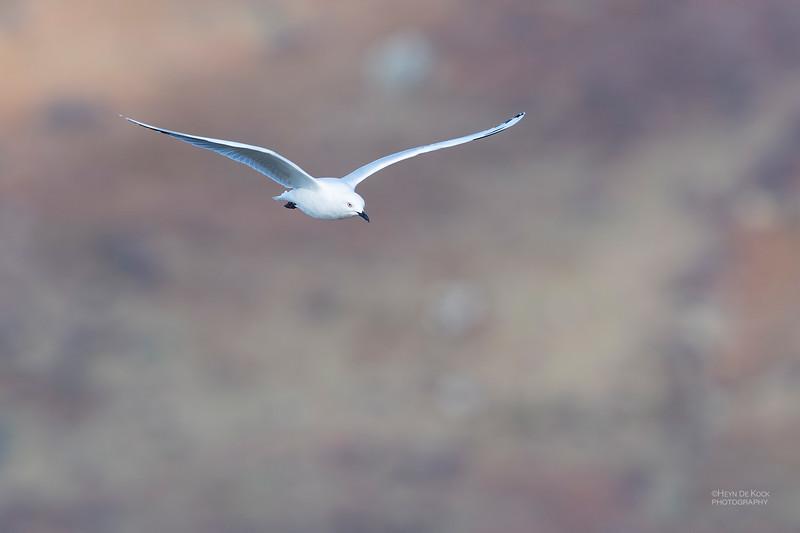 Black-billed Gull, Lake Pukaki, SI, NZ, Aug 2018-1.jpg