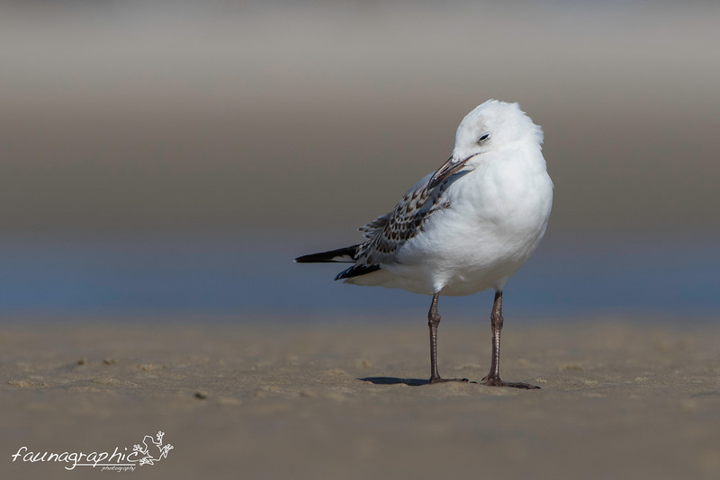 Silver Gull - Juvenile