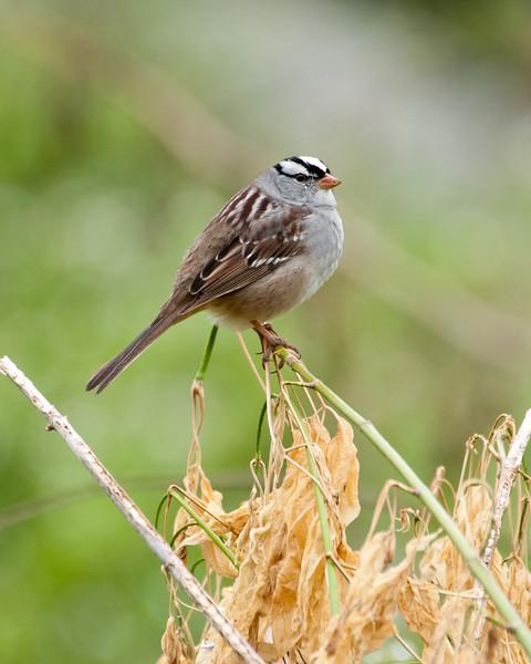 White Crowned Sparrow (Taiga) SC5526